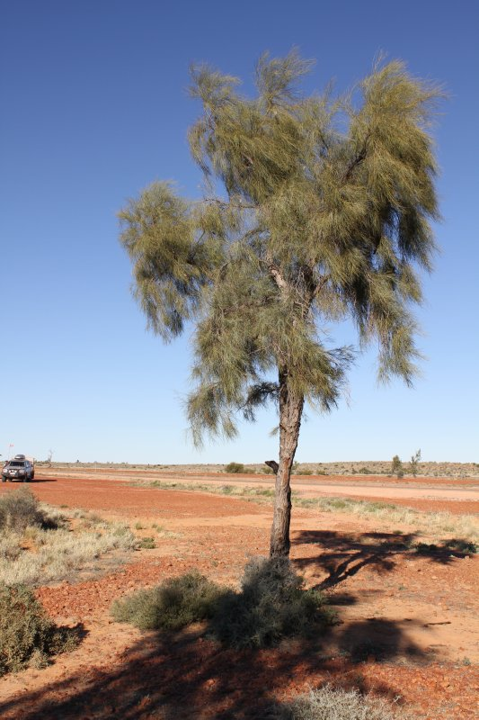 Waddy Tree