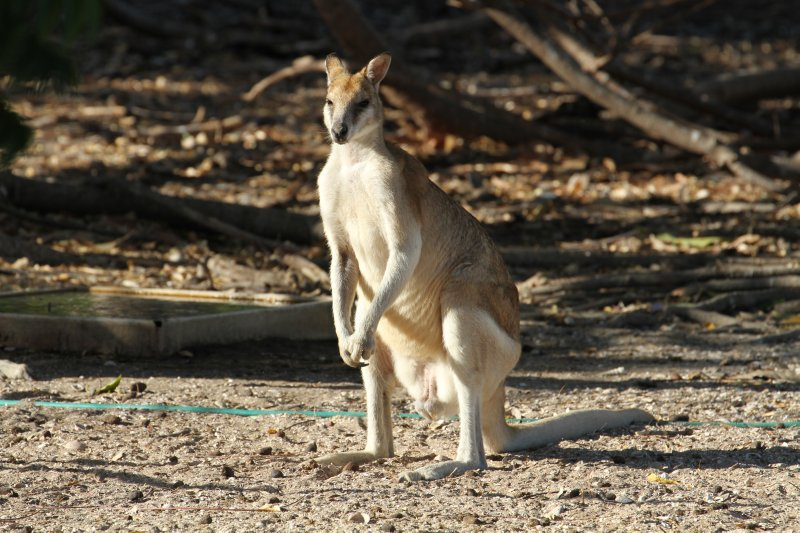 Wallaby in Karumba