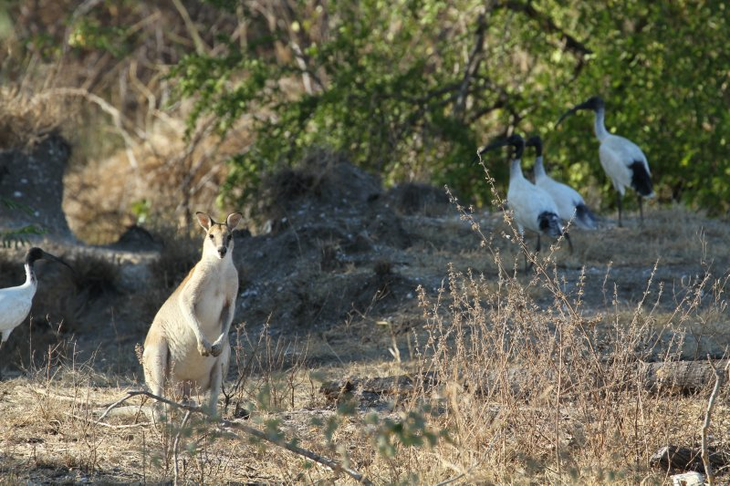 Wallaby with australian White Ibis