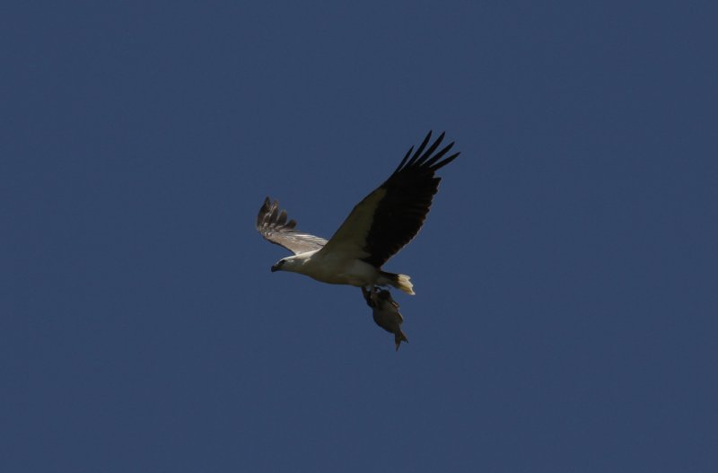 White-bellied Sea-Eagle with fish