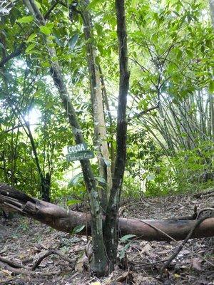 Cocoa_Tree.jpg
