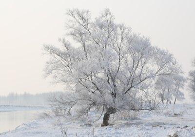 Rimed_Trees_1.jpg