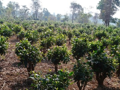 Tea_Plantation_1.jpg
