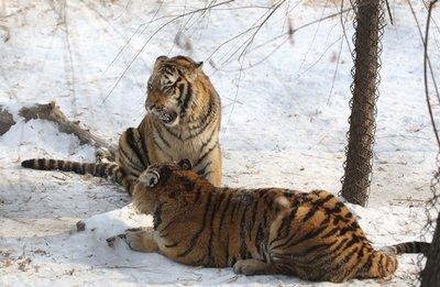 Tigers_2.jpg