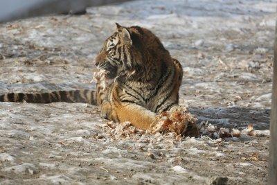 Tigers_4.jpg