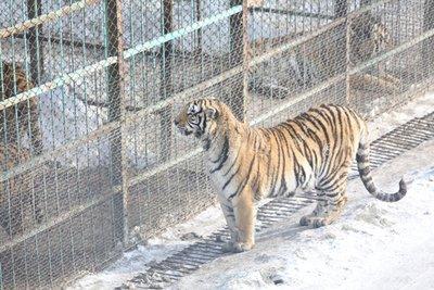Tigers_5.jpg