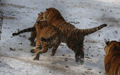 Tigers_7_chasing_cjhicken.jpg