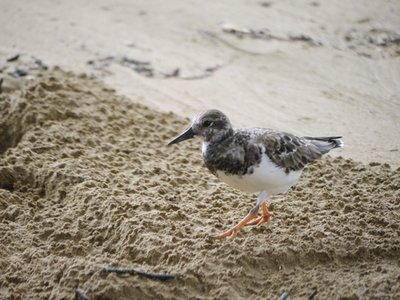 Turnstone_on_Beach_1.jpg