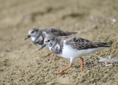 Turnstone_on_Beach_2.jpg