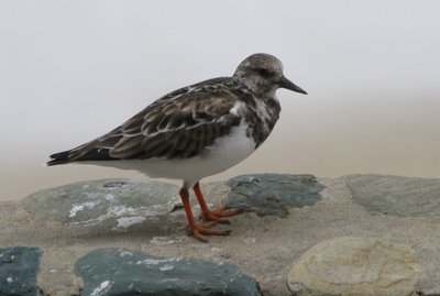 Turnstone_on_wall.jpg
