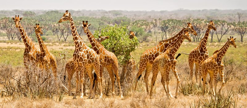large_A_Tower_of_Giraffes_5.jpg
