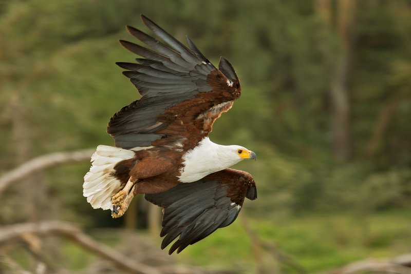 large_African_Fish_Eagle_12.jpg