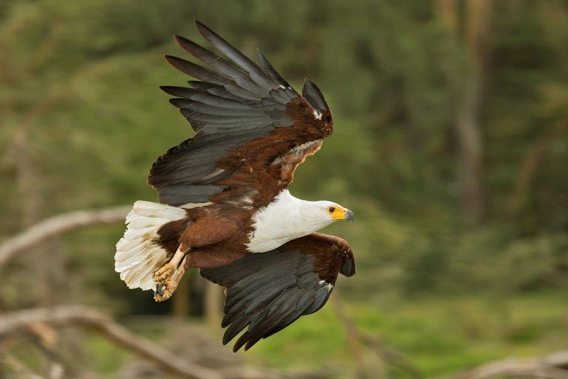 large_African_Fish_Eagle_12.jpg