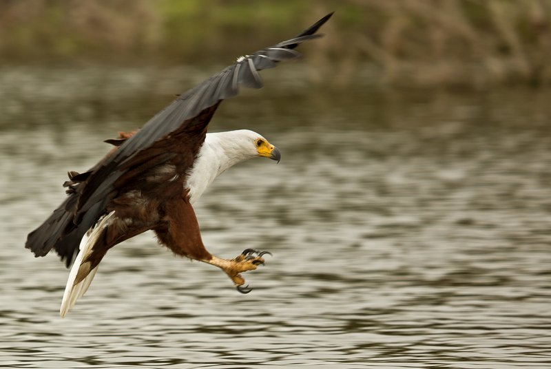large_African_Fish_Eagle_14.jpg