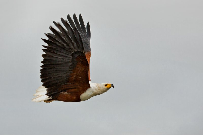large_African_Fish_Eagle_16.jpg