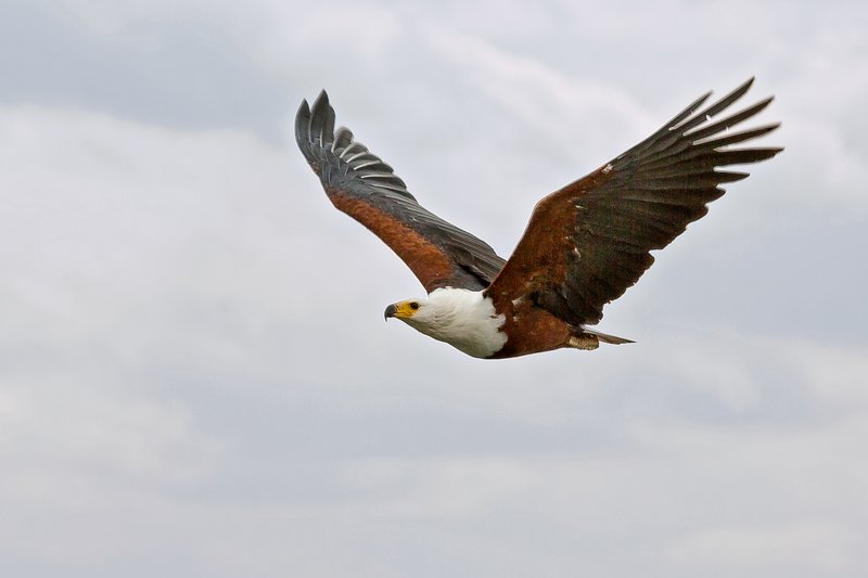 large_African_Fish_Eagle_21.jpg