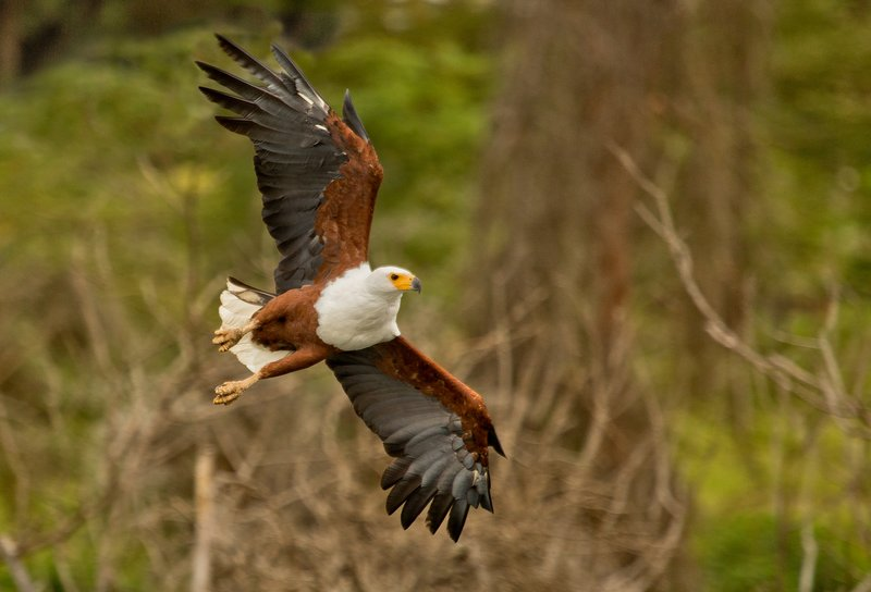 large_African_Fish_Eagle_25.jpg