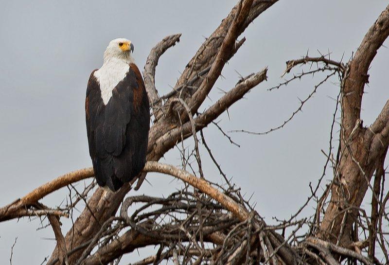 large_African_Fish_Eagle_3.jpg