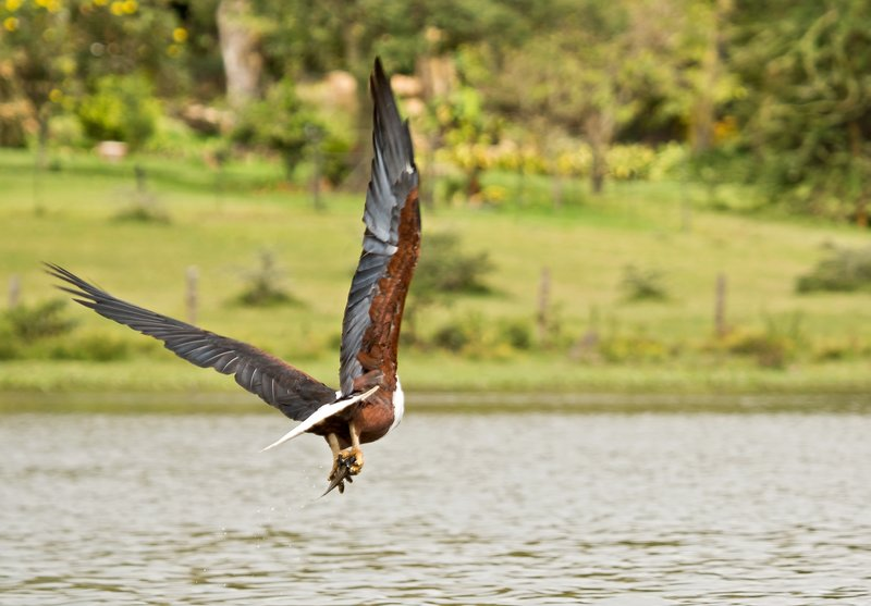 large_African_Fish_Eagle_6.jpg