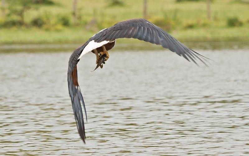 large_African_Fish_Eagle_7.jpg
