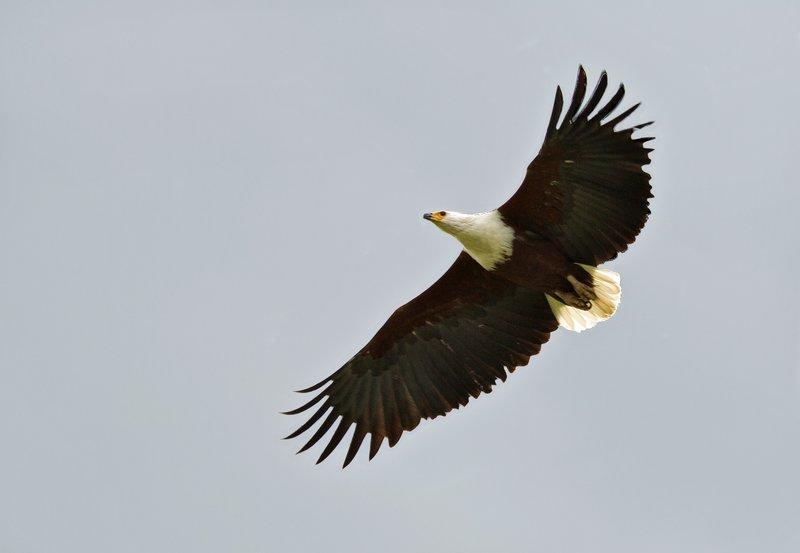 large_African_Fish_Eagle_9.jpg