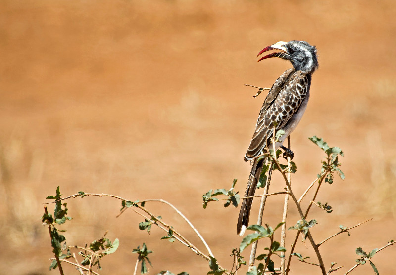 large_African_Grey_Hornbill_1.jpg