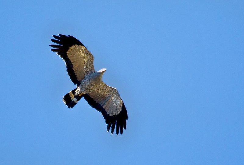 large_African_Harrier_Hawk_32.jpg