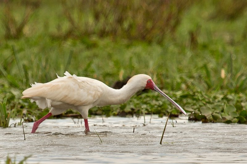 large_African_Spoonbill_2.jpg