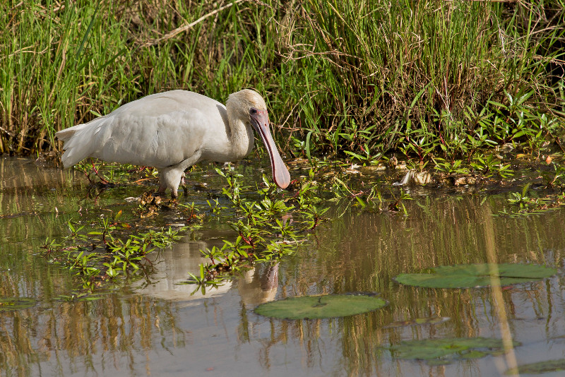 large_African_Spoonbill_72.jpg