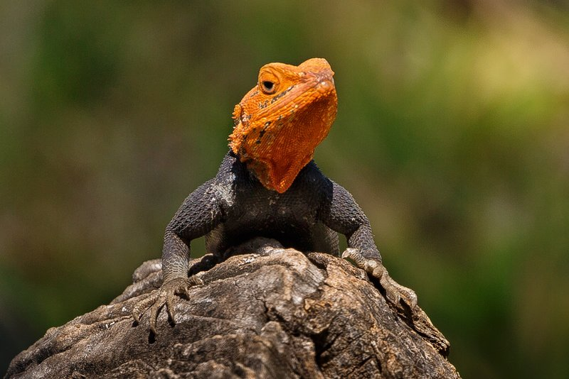 large_Agama_Lizard_1.jpg