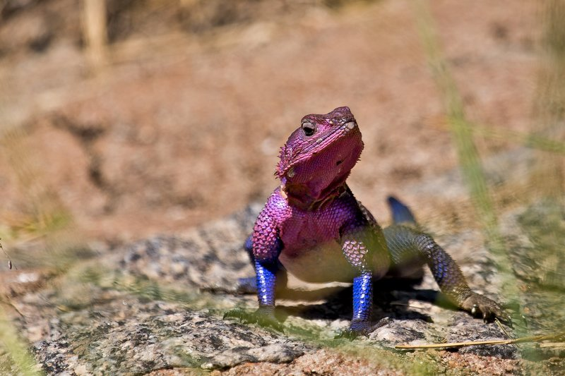 large_Agama__Fla..ed_Rock_9-2.jpg