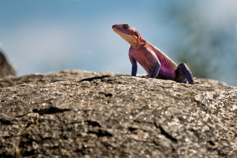 large_Agama__Fla..ed_Rock_9-5.jpg