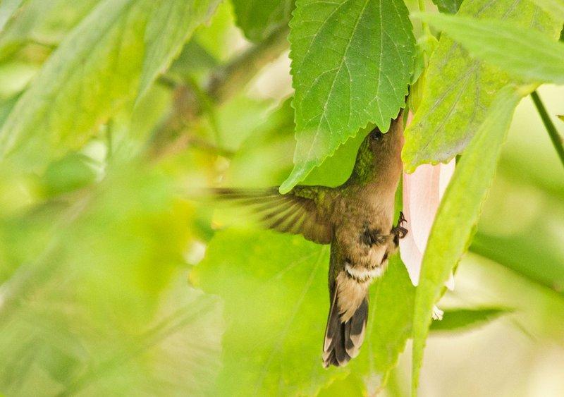 large_Antillean_..mmingbird_3.jpg