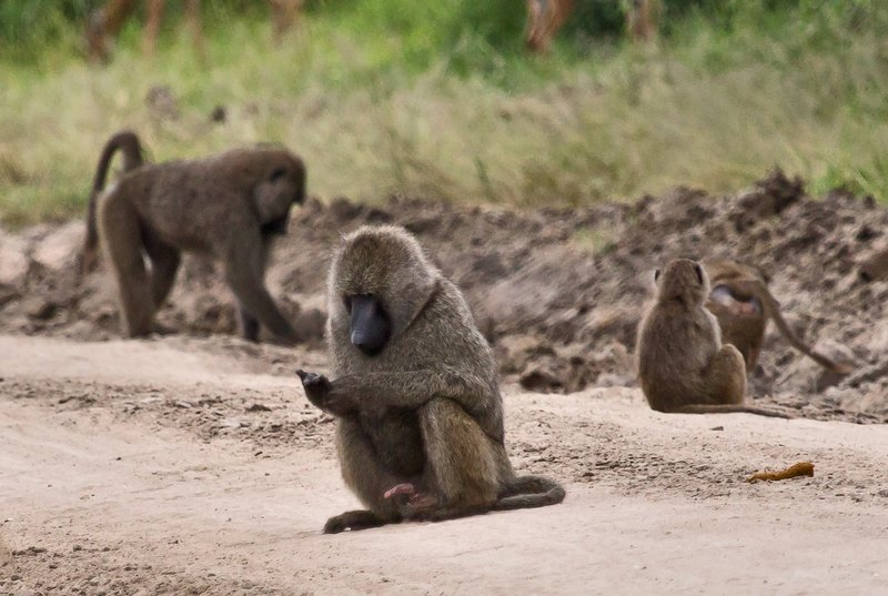 large_Baboons_5-15.jpg
