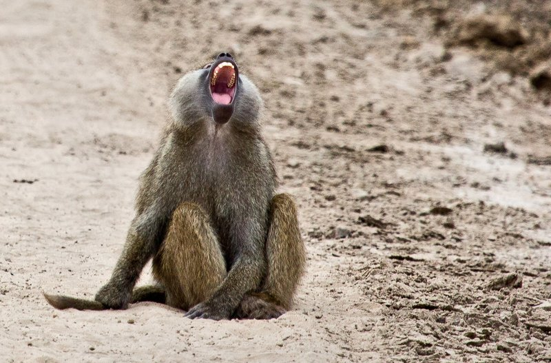 large_Baboons_5-22.jpg