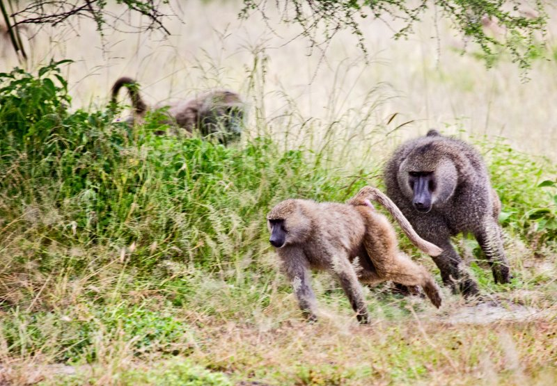 large_Baboons_5-24.jpg