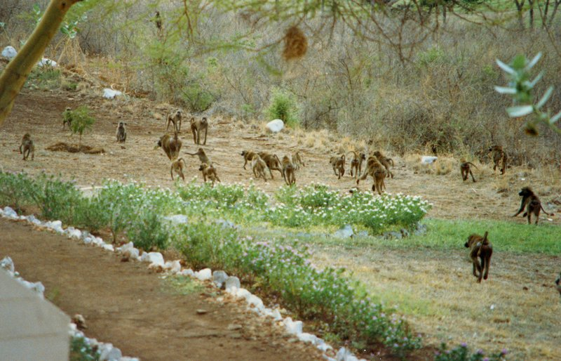large_Baboons_in..rk______107.jpg