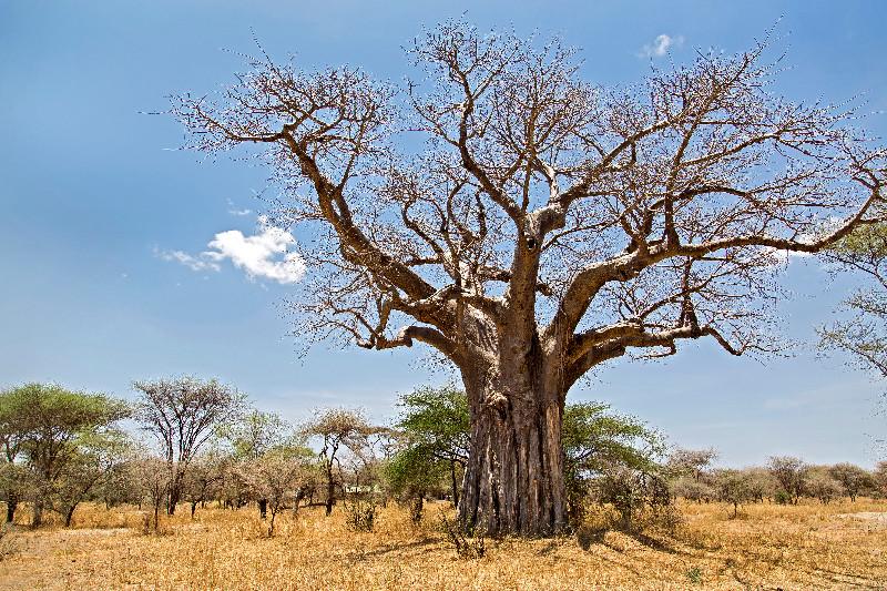 large_Baobab_1.jpg