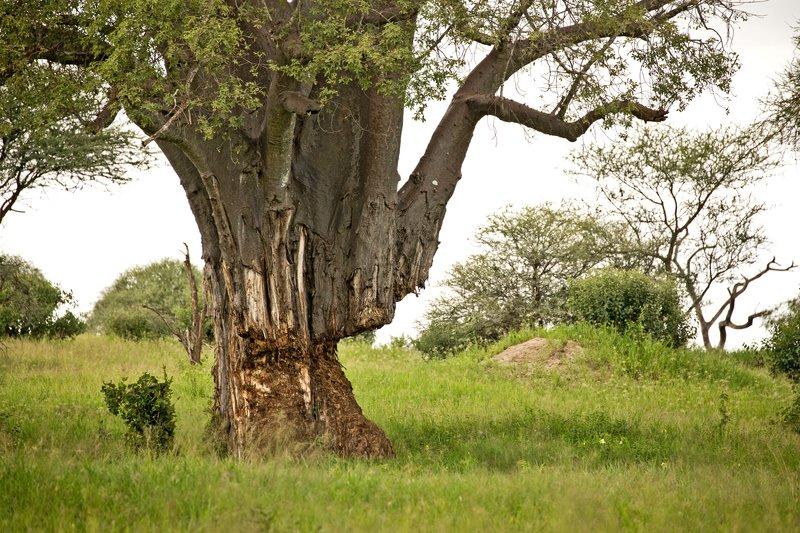 large_Baobab_75.jpg