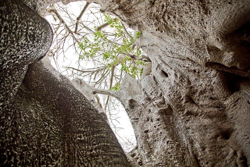 large_Baobab_Prison_3.jpg