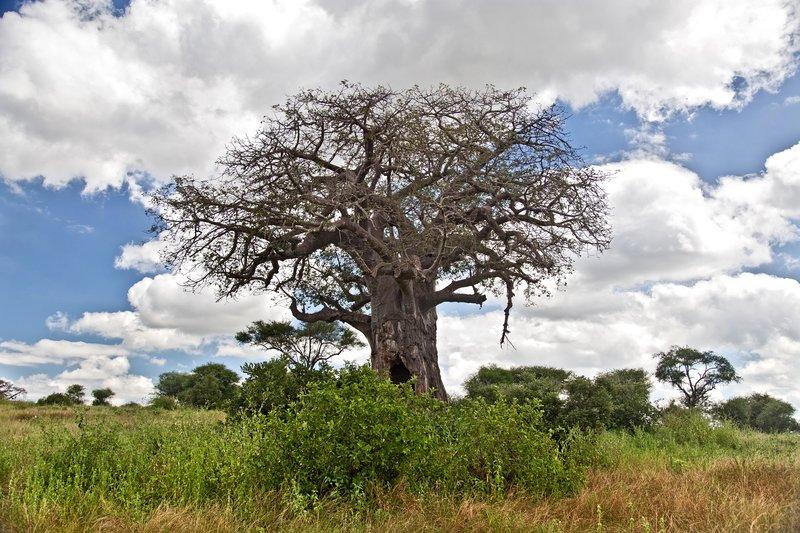 large_Baobab_Tree_5-52.jpg