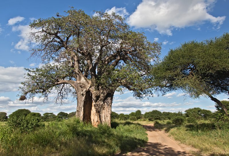 large_Baobab_Tree_5-53.jpg