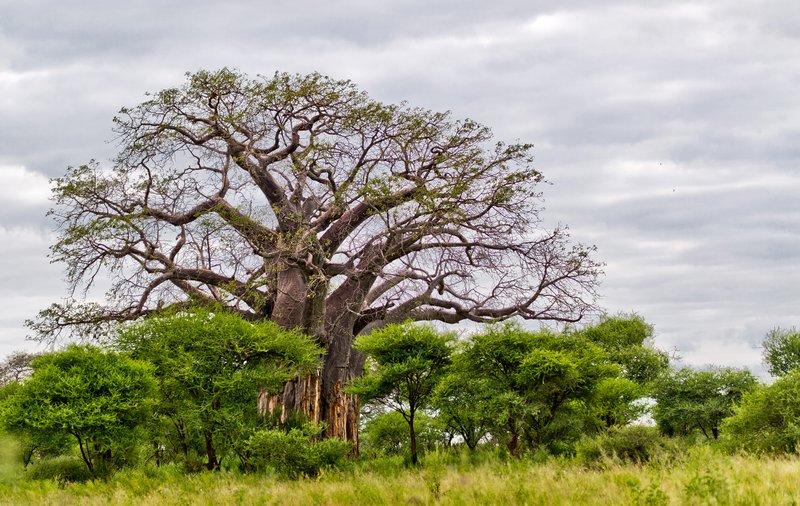 large_Baobab_Trees_5-10.jpg