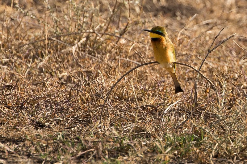 large_Bee_Eater__Little.jpg