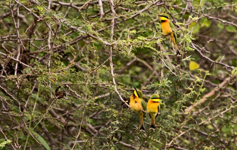 large_Bee_Eaters__Little_5-2.jpg