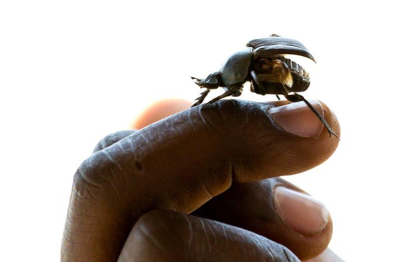 large_Beetle__Dungless_7-2.jpg