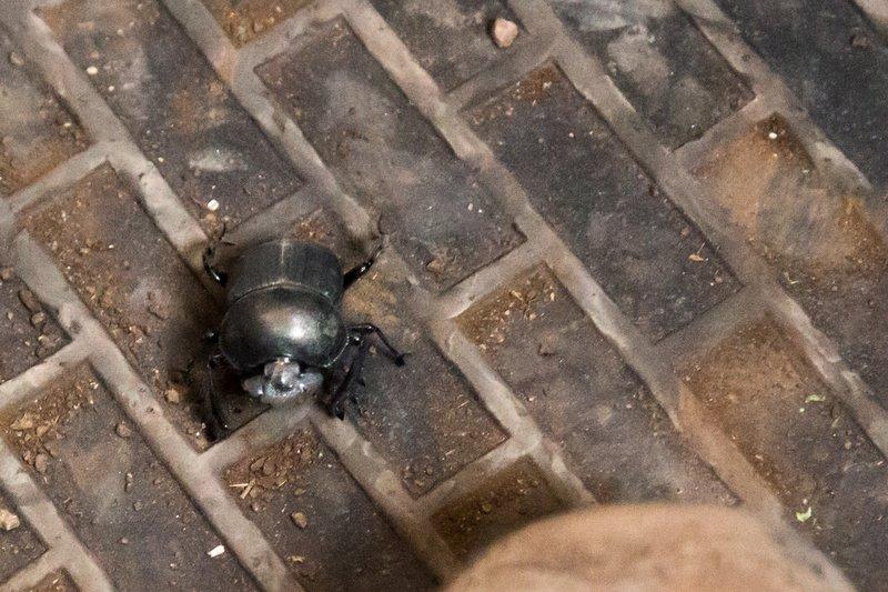 large_Beetle__Dungless_7-3.jpg