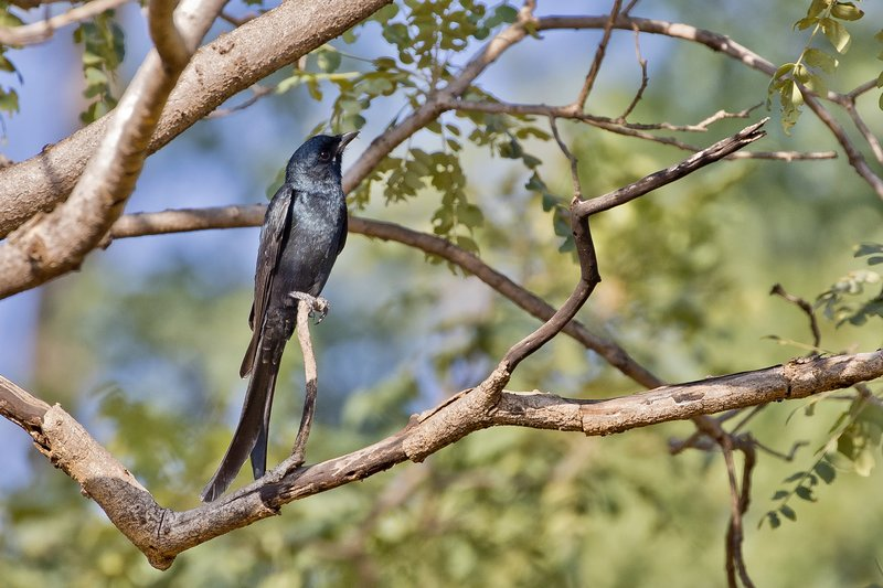 large_Black_Drongo_92.jpg