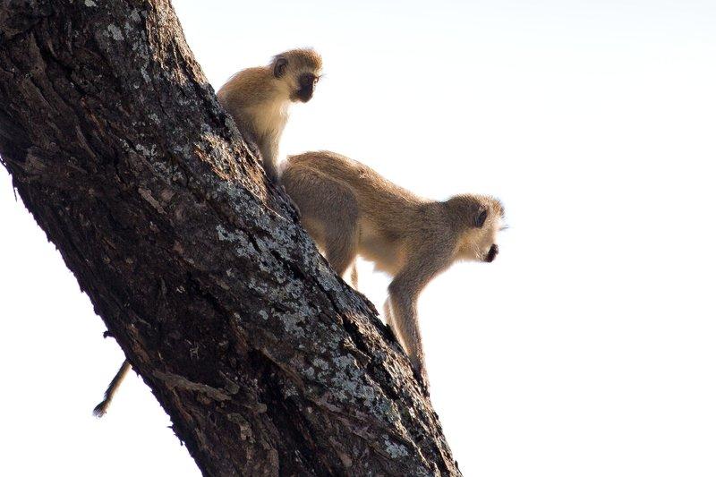 large_Black_Face..Monkeys_9-5.jpg