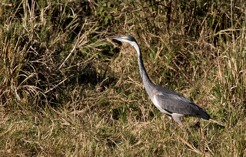 large_Black_Headed_Heron_31.jpg